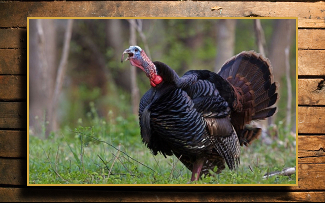 Wild Turkey, Eastern Wild Turkey, Turkey Hunting, Eastern Turkey Hunting